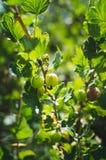 grüne Stachelbeeren auf einer Niederlassung des Busches mit Sonnenlicht im Fruchtgarten stockbilder