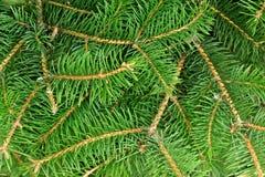 Grüne stachelige Niederlassungen der Tanne oder der Kiefer, Hintergrund Lizenzfreie Stockfotografie