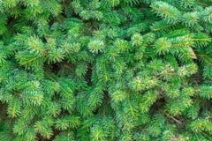 Grüne stachelige Niederlassungen der Tanne oder der Kiefer, Hintergrund Lizenzfreie Stockbilder