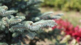 Grüne stachelige Niederlassungen eines Pelzbaums oder der Kiefer Beautigul vgreen Pelzbaum im Garten im Sommer Vektorversion in m stock video footage