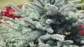 Grüne stachelige Niederlassungen eines Pelzbaums oder der Kiefer Beautigul vgreen Pelzbaum im Garten im Sommer Vektorversion in m stock footage