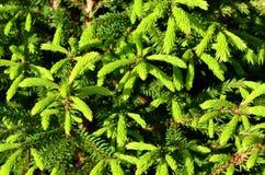 Grüne stachelige Zweige eines Tannenbaums Lizenzfreie Stockbilder