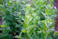 Grüne tadellose Anlage, Pfefferminz, die im Garten wächst lizenzfreie stockbilder