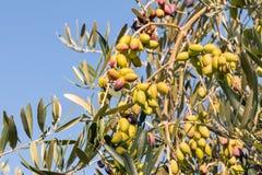 Grüne Tafeloliven auf Olivenbaum gegen blauen Himmel Stockfotografie