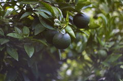 Grüne Tangerinen im Garten Stockbilder