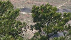 Grüne Tannen bewegen auf den Wind wellenartig stock footage