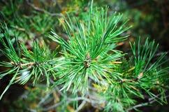Grüne Tannenbaum- oder -kiefernniederlassungen lizenzfreies stockbild