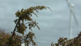 Grüne Tannenzweige, die mit einer unscharfen Windmühle im Hintergrund beeinflussen stock video footage