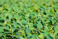 Grüne Teeblätter auf dem Gebiet; selektiver Fokus mit Unschärfevordergrund Lizenzfreie Stockfotos