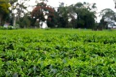 Grüne Teeblätter auf einem Feld nahe Viktoriasee in Kenia, Afrika stockfotos