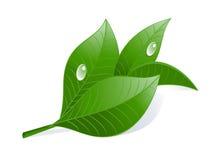Grüne Teeblätter mit Tropfen. Stockbild
