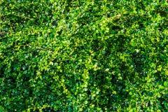 Grüne Teepflanzen auf die Oberseite haben viele Blätter wie Hintergrund Stockfotografie