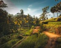 Grüne Tegalalang-Reisterrassen in Ubud lizenzfreie stockfotografie