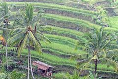 Grüne Terrassenfeld- und -kokosnussbäume im Regen lizenzfreies stockbild