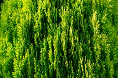 Grüne Thuja Orientale-Vielzahl Aurea Nana, Nahaufnahme lizenzfreie stockbilder