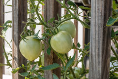 Grüne Tomate Lizenzfreie Stockfotografie