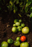 Grüne Tomaten Stockfoto