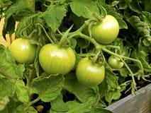 Grüne Tomaten lizenzfreies stockfoto
