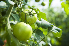 Grüne Tomaten Stockfotos