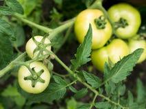 Grüne Tomaten Stockbild