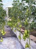 Grüne Tomaten Stockbilder