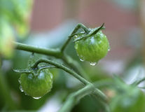 Grüne Tomaten auf der Rebe Stockbilder