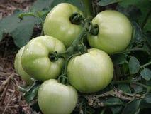 Grüne Tomaten auf der Rebe lizenzfreies stockbild