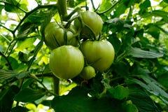 Grüne Tomaten auf der Rebe Lizenzfreie Stockfotografie