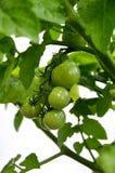 Grüne Tomaten auf Rebe Lizenzfreies Stockbild