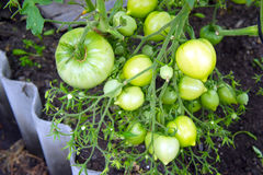 Grüne Tomaten der Niederlassung im Gewächshaus Stockfotos