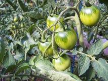 Grüne Tomaten, die auf den Zweigen wachsen Es wird im Garten kultiviert stockfotos
