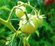 Grüne Tomaten, die im Sommer auf dem Gebiet reifen Stockfotografie