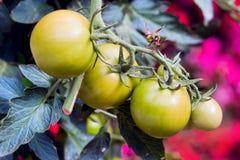 Grüne Tomaten in einem Garten Stockbilder
