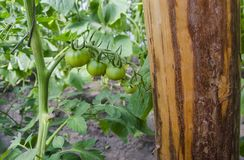 Grüne Tomaten im Gewächshaus Stockfotografie