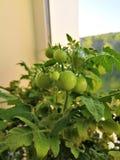 Grüne Tomaten zu Hause angebaut stockfotos