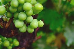 Grüne Traube 2 Lizenzfreies Stockfoto