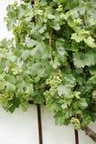 Grüne Traube mit grünen Blättern Lizenzfreies Stockbild
