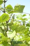 Grüne Traube am Weinberg Stockbild