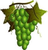 Grüne Trauben. stockbild