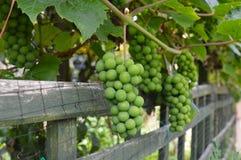 Grüne Trauben lizenzfreie stockfotografie