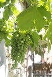 Grüne Trauben Stockbilder