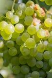 Grüne Trauben auf der Natur Stockfotografie