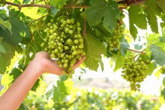 Grüne Trauben auf der Niederlassung, grüne Trauben auf Rebe Stockfotografie