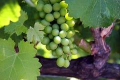 Grüne Trauben auf der Rebe Stockbild