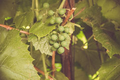 Grüne Trauben auf der Rebe Lizenzfreies Stockfoto
