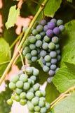 Grüne Trauben auf einem Zweig stockbild