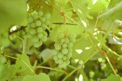 Grüne Trauben auf einer Niederlassung mit Blättern Lizenzfreies Stockfoto