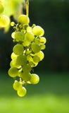 Grüne Trauben auf Rebe Lizenzfreie Stockfotos