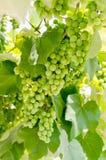 Grüne Trauben auf Rebe Stockbild