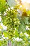 Grüne Trauben auf Rebe Lizenzfreie Stockbilder
